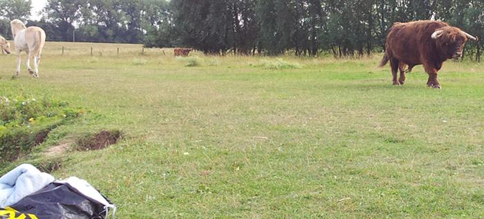Schotse Hooglander stier.