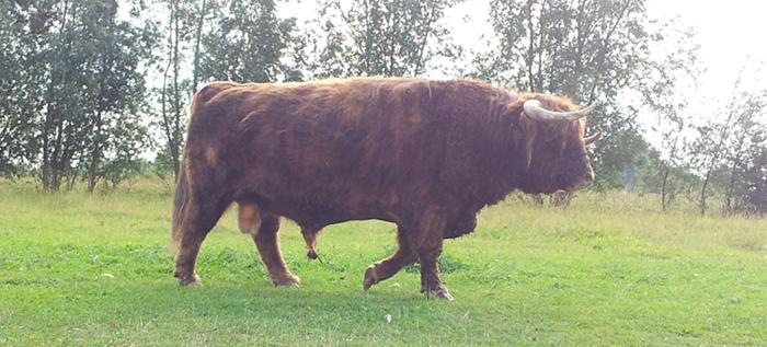 Schotse Hooglander stier loopt voorbij.